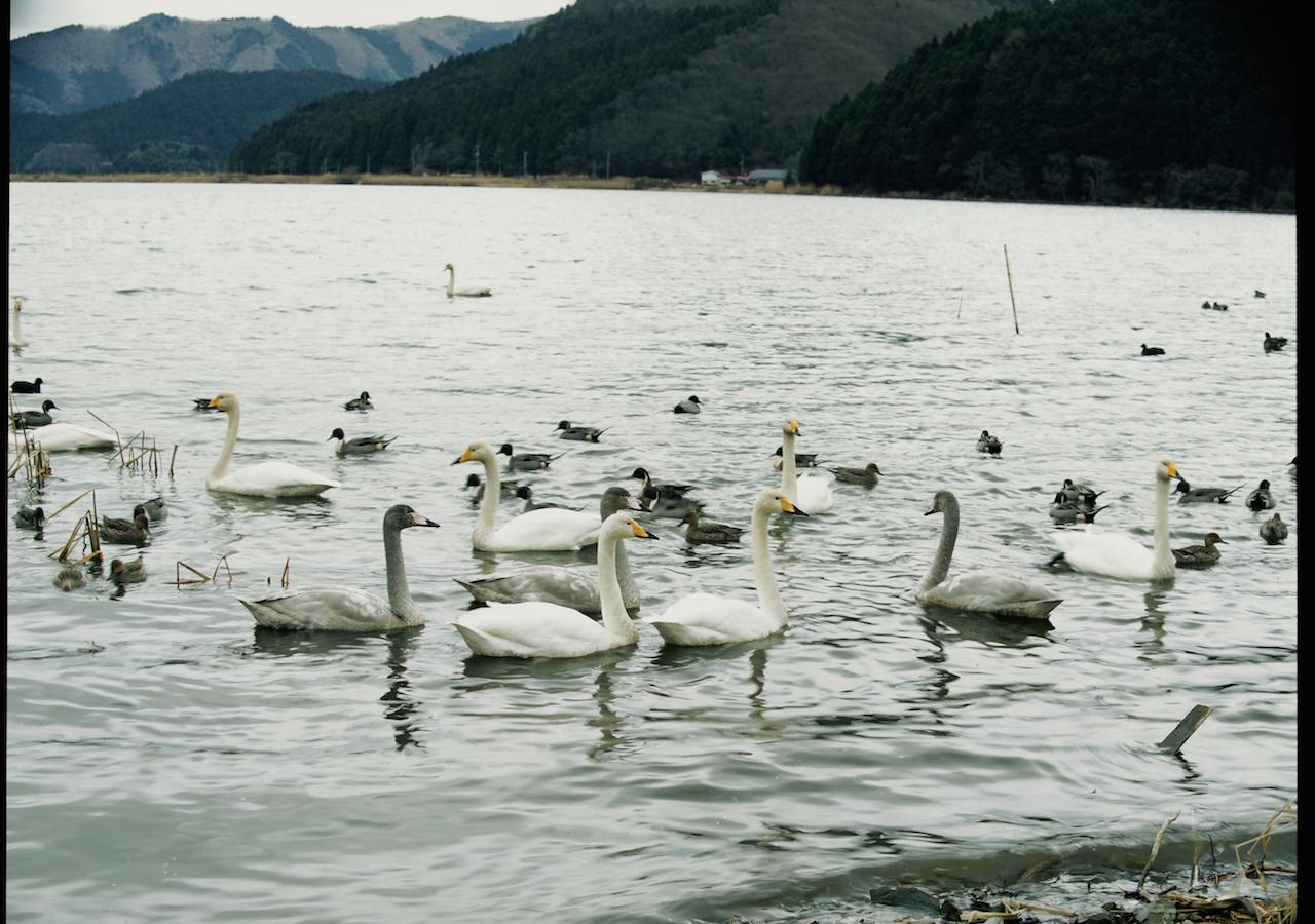 富士沼(白鳥飛来地)