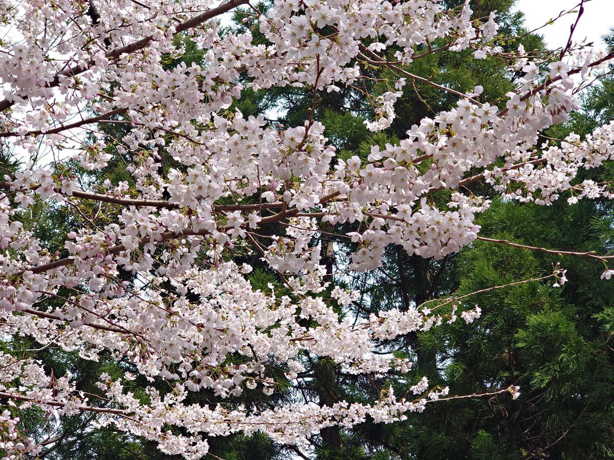 ブルーラインの桜