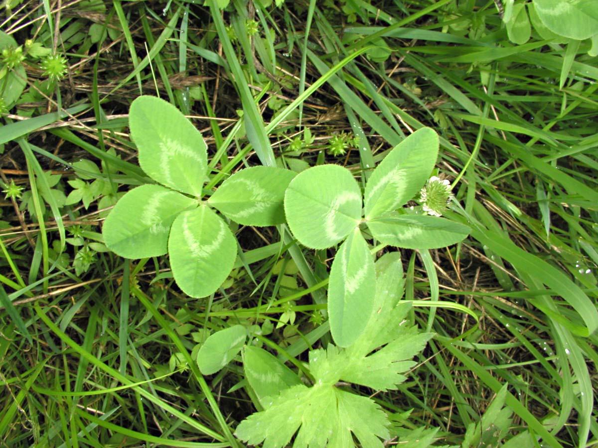 滝山で見つけた四つ葉のクローバー
