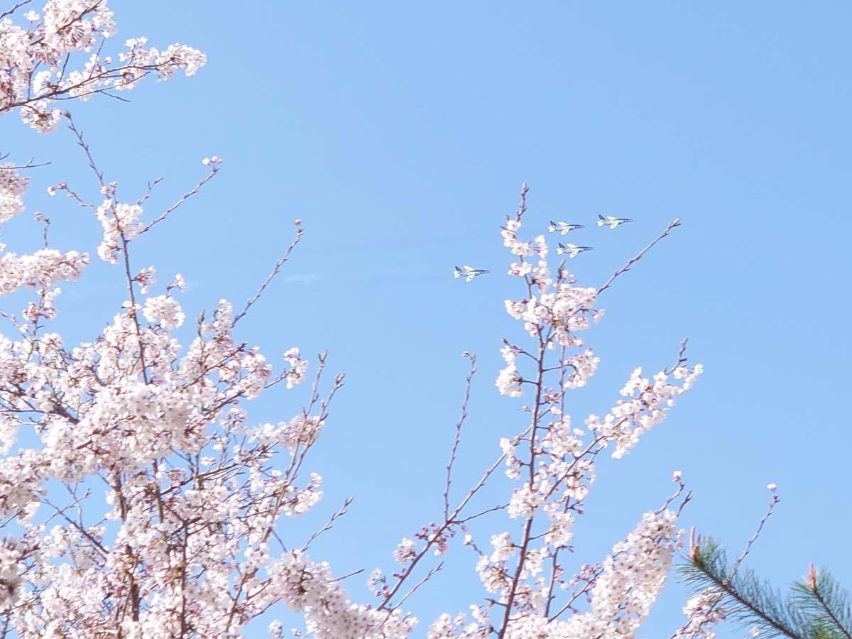 桜とブルーインパルスの共演